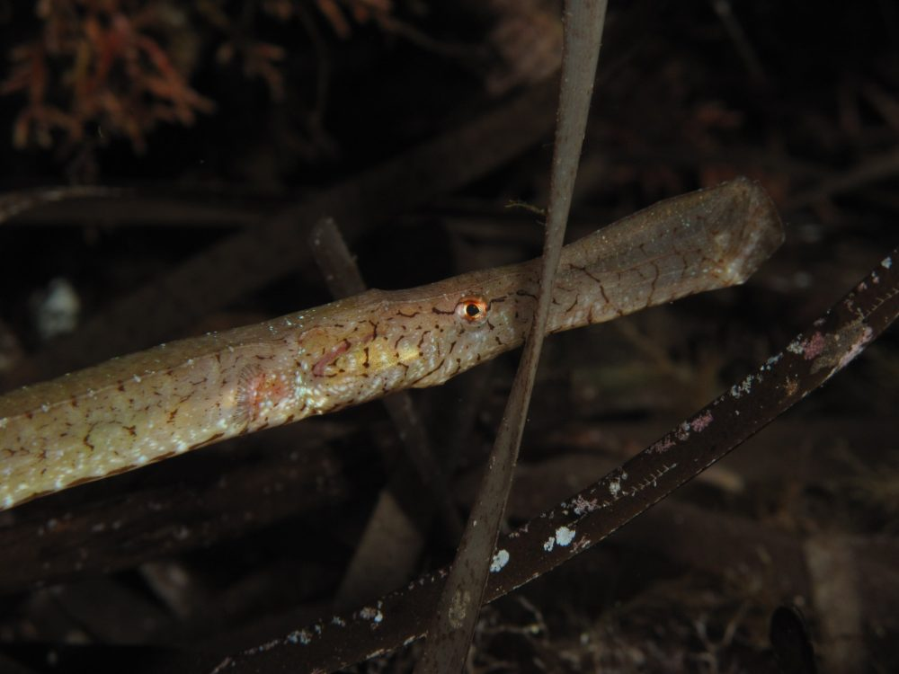 Syngnathus typhle - Broadnosed pipefish © Filicudi Divers